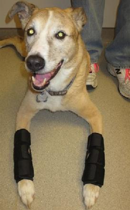 Dog Wearing Braces on Legs
