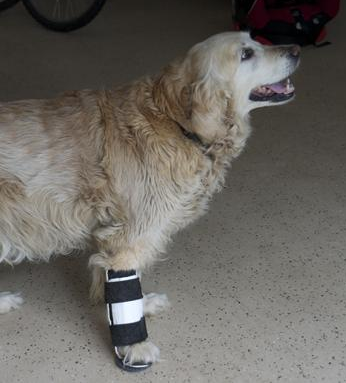 Golden Retriever Wearing Rigid Splint