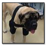 Mastiff Wearing Elbow Protection